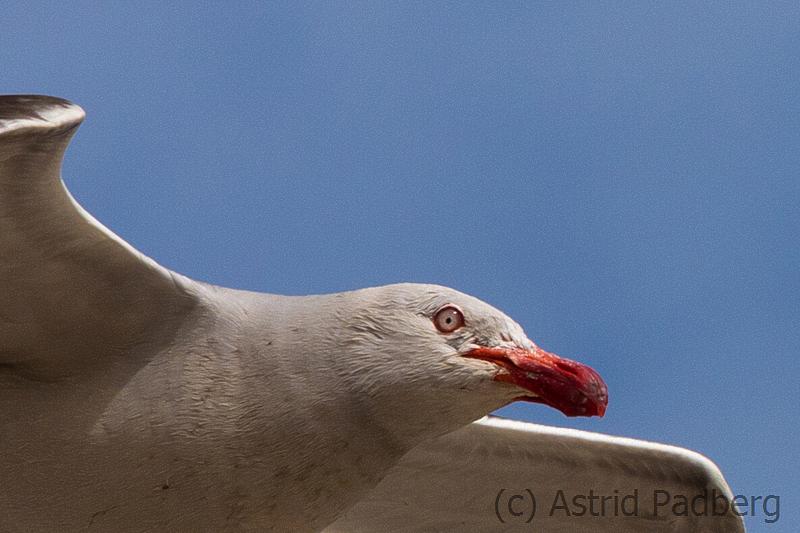 Buntschnabelmöwe, Dophin gull,