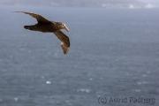 Riesensturmvogel, Antarctic giant petrel, giant fulmar