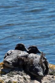 Wer stört? Falkland Dampfschiffente