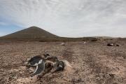 Pinguinkadaver bei Indian Village