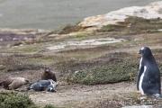Falkland Skua mit totem Eselspinguin