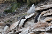 Felsenpinguin, Saunders, The Rookery