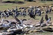 Gelandet: Riesensturmvogel in Kormorankolonie