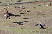 Abflug: Riesensturmvogel verlässt Kormorankolonie