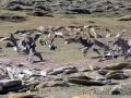 Riesensturmvogel treibt junge Kormorane