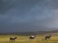 Schafe auf der Flucht, Eshaness