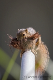 Bananenhörnchen