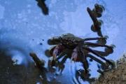 Krabbe in Öl