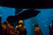 Seekuh unter Wasser