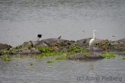 Reiher auf Flusspferd-Insel