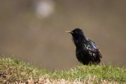 Amsel, turdus merula, common blackbird