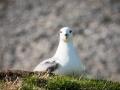 Eissturmvogel, Fulmarus glacialis, fulmar