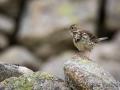 Wiesenpieper, Anthus pratensis, meadow pipit