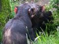 Zoo Duisburg Tasmanischer Teufel