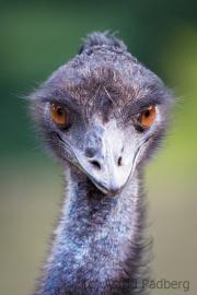 Emu, Vogelpark Heiligenkirchen