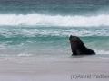Südlicher Seelöwe