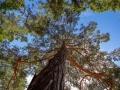 Bäume in der Wahner Heide