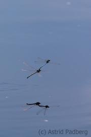 Zwei Libellen (mit Schatten), Hamberger Moor