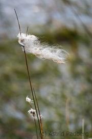 Wollgras, Hamberger Moor