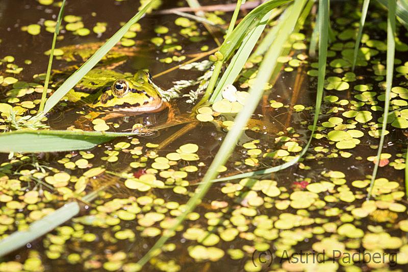 Frosch, Hamberger Moor