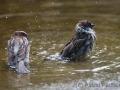 Spatzen beim Bad im Tigergehege