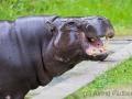 Zwergflusspferd