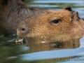 zoo_lodz_capybara_3449_web
