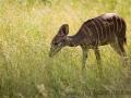 zoo_lodz_kl_kudu_3458_web