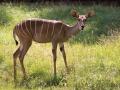 zoo_lodz_kl_kudu_3461_web