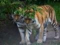 zoo_lodzamur_tiger_3394_web