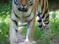 zoo_lodzamur_tiger_3399_web