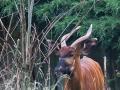 zoo_opole_bongo_2445_web