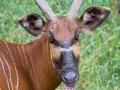 zoo_opole_bongo_2510_web