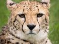 zoo_opole_gepard_2631-2_web