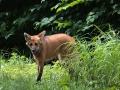 zoo_opole_maehnenwolf_2644_web