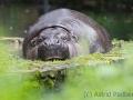 zoo_opole_zwergflusspferd_2637_web