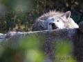 Mexikanischer Wolf