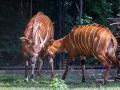 zoo_warschau_bongo_3587_web
