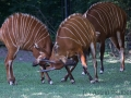 zoo_warschau_bongo_3618_web