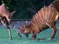 zoo_warschau_bongo_3621_web