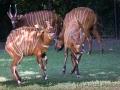 zoo_warschau_bongo_3656_web