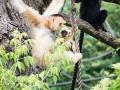 zoo_warschau_gibbon_3918_web