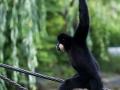 zoo_warschau_gibbon_3966_web