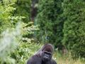 zoo_warschau_gorilla_3851_web