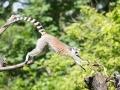 zoo_warschau_katta_3532_web