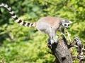 zoo_warschau_katta_3534_web