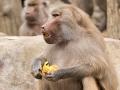 zoo_warschau_mantelpavian_3795_web