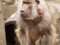 zoo_warschau_mantelpavian_3811_web
