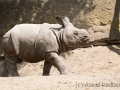 zoo_warschau_panzernashorn_3739_web