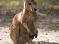 zoo_warschau_rotes_riesenkaenguru_4115_web